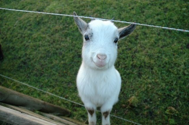 smiling baby goat