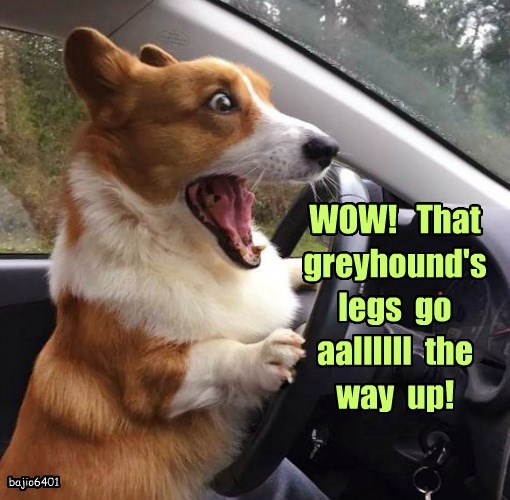 WOW!   That  greyhound's  legs  go  aallllll  the  way  up!