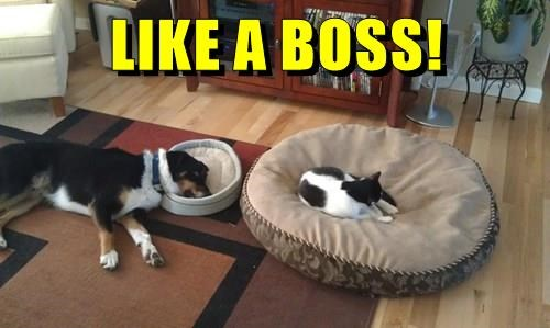 boss,bed,caption,Cats