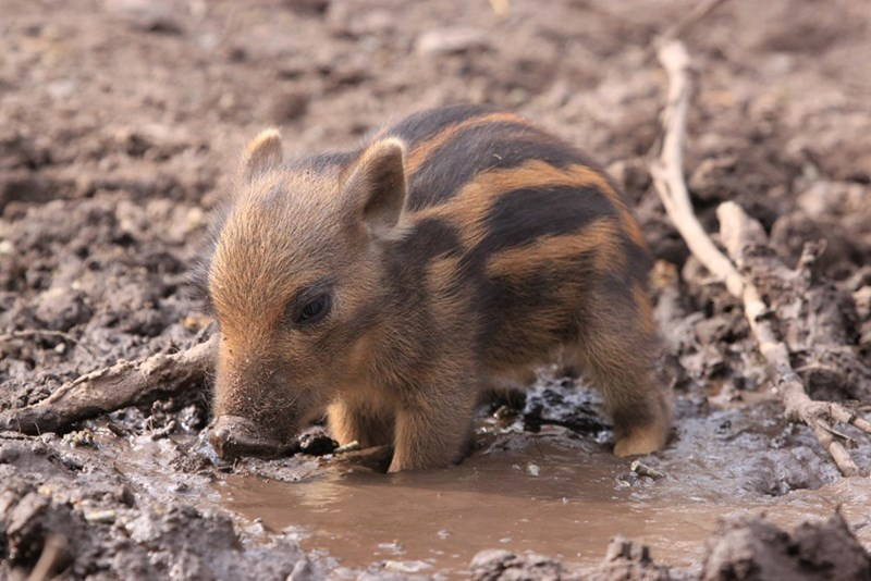 a young warthog