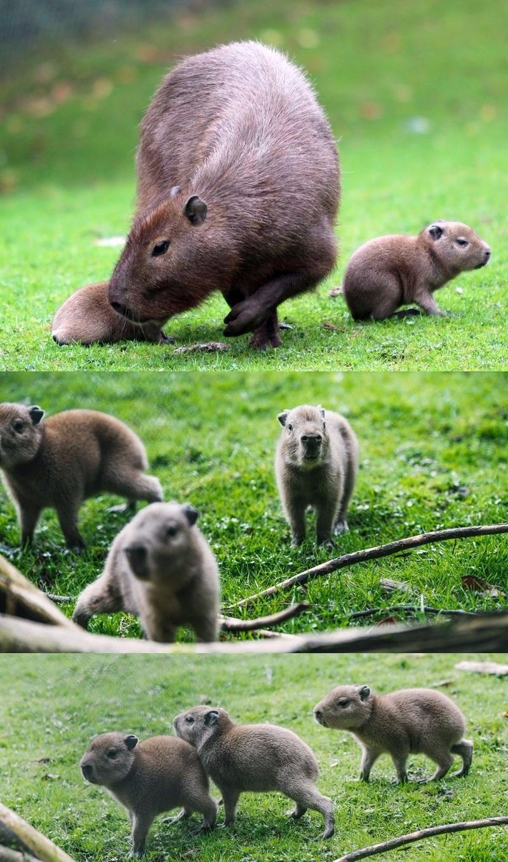 look at these adorable baby capybaras