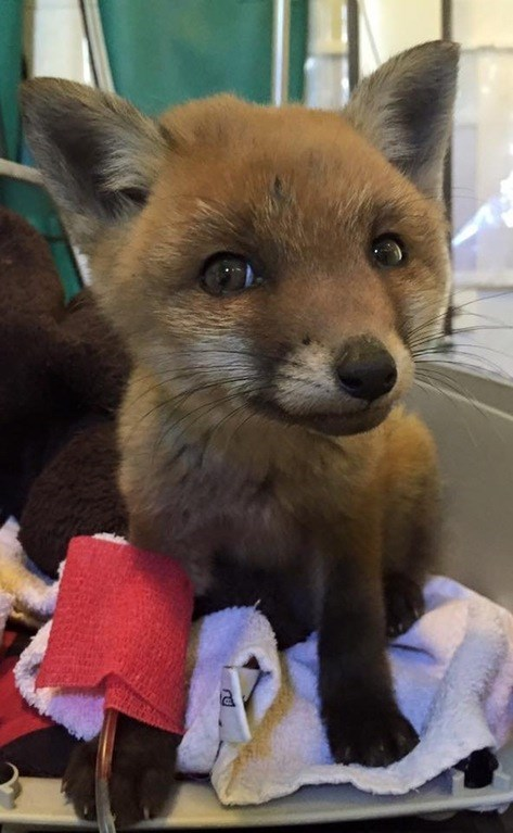 rescued baby fox so cute doesnt look real