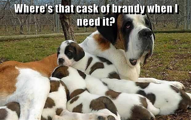 animals brandy saint bernard dogs cask where caption - 8800194048