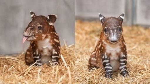 have you ever seen a baby tapir