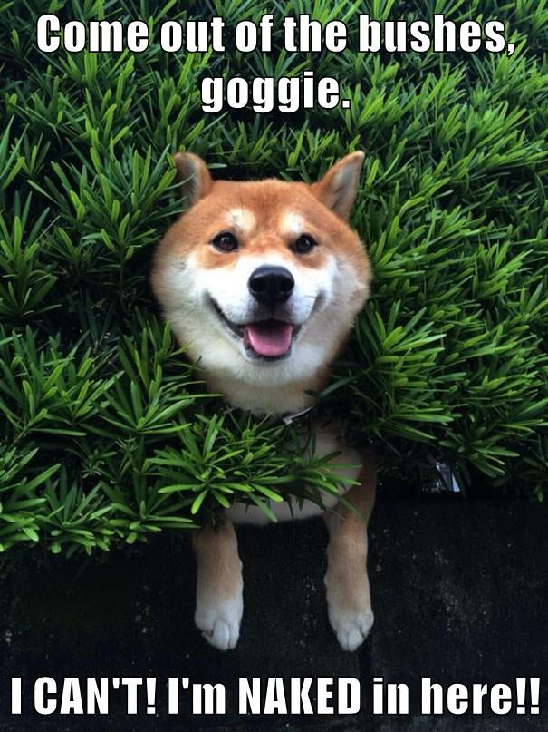 animals naked dogs caption shiba inu bush - 8801646592
