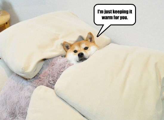 dogs,bed,caption,shiba inu,warm
