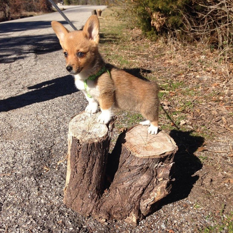 corgi stumps on a stump