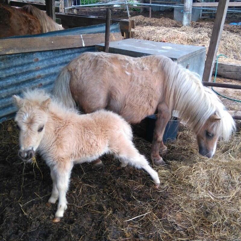 fluffy shetland foal