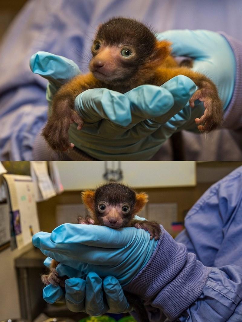 rare red ruffed lemur born at the san diego zoo