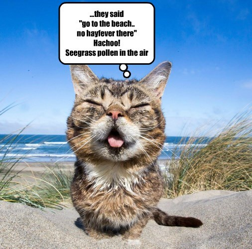 lil bub,hayfever,beach,caption,Cats