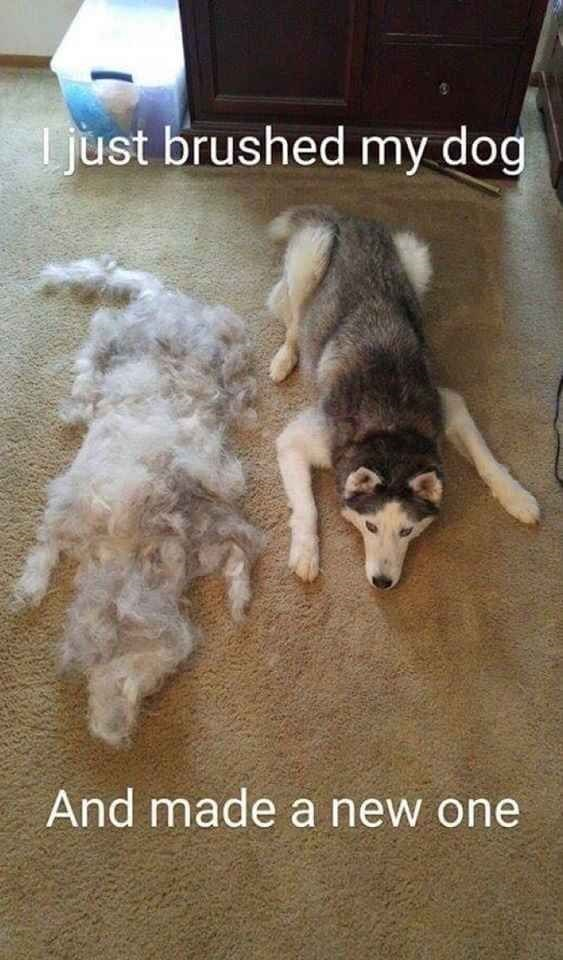 hair brush dogs husky caption - 8803440640