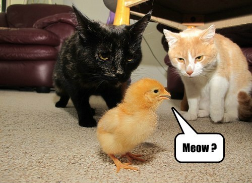 chick meow caption Cats