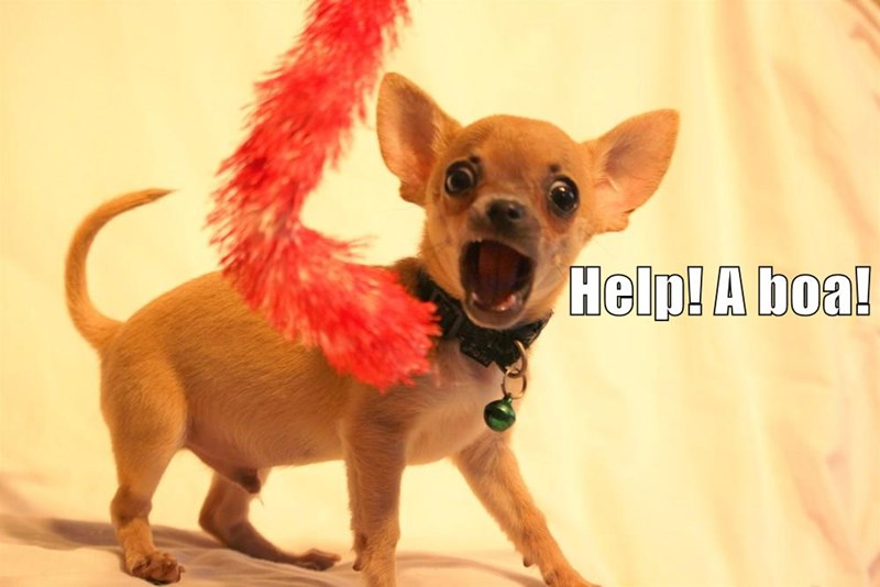 dogs,help,chihuahua,caption,boa