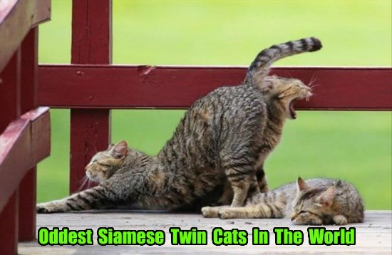 butt,twins,caption,Cats,siamese