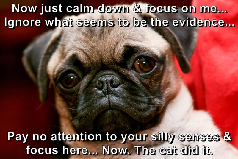 animals focus dogs pug stare caption - 8806193408