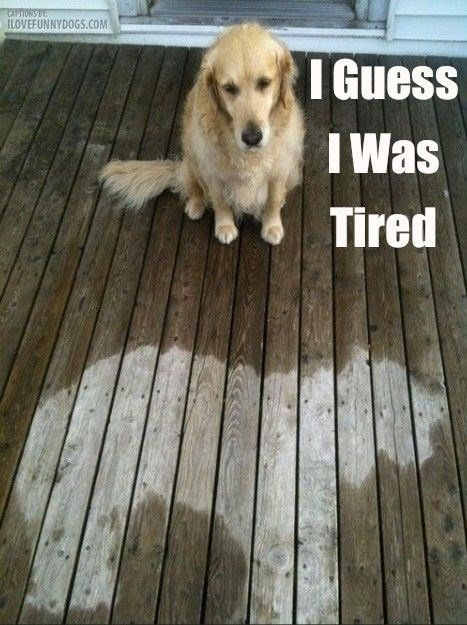 dogs,guess,tired,caption,deck,wet