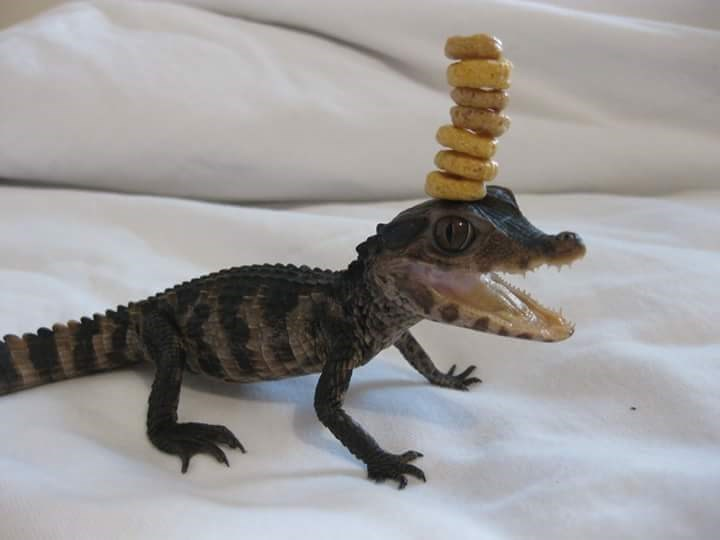 alligator cheerio challenge