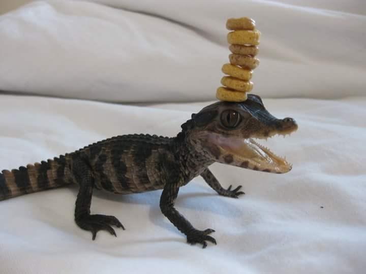 alligator cheerio challenge