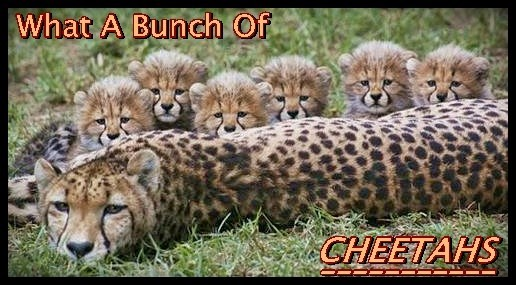 What A Bunch Of Cheetahs!