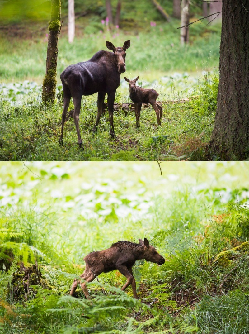 theres a new moose calf at the northwest trek wildlife park