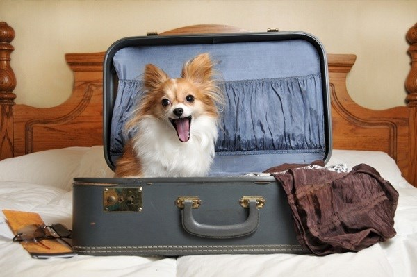 guide to travelling on an airplane with your pet cat or dog