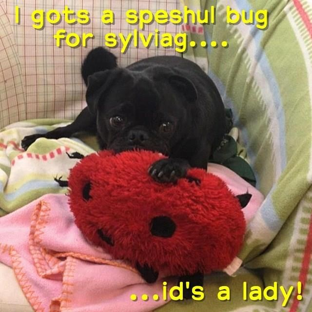 A Bug-deliverin Pug for sylviag. (sorry bout deh slobbur)