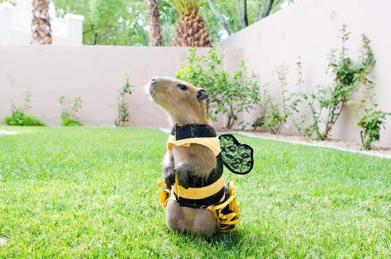 capybara in a bee costume