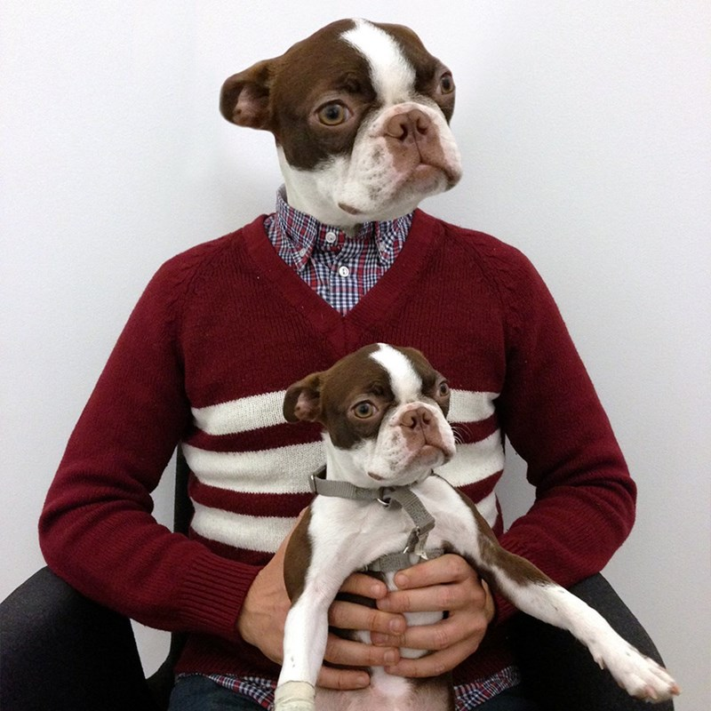 dogs,human,picture,boston terrier,funny