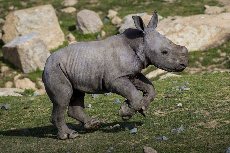 calf,baby,rhino
