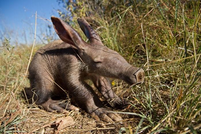 baby arrdvark - 8811516672