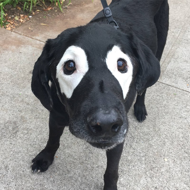 dogs,labrador,vitiligo,photoshop battle,Reddit,spots
