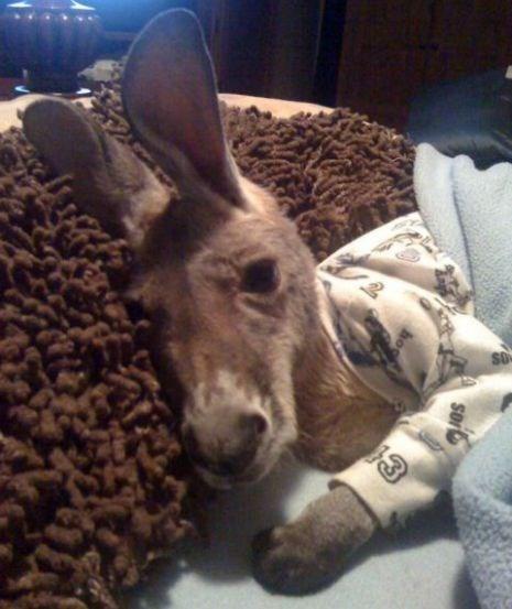 baby,kangaroo,pajamas,Joey