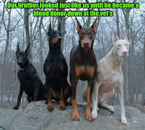 dogs,doberman,vet,caption