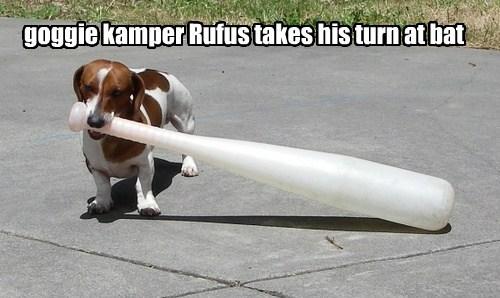 goggie kamper Rufus takes his turn at bat