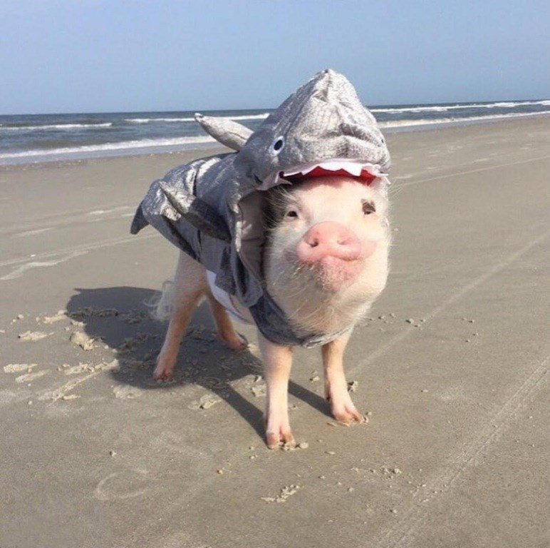 adorable pig in a shark costume at the beach