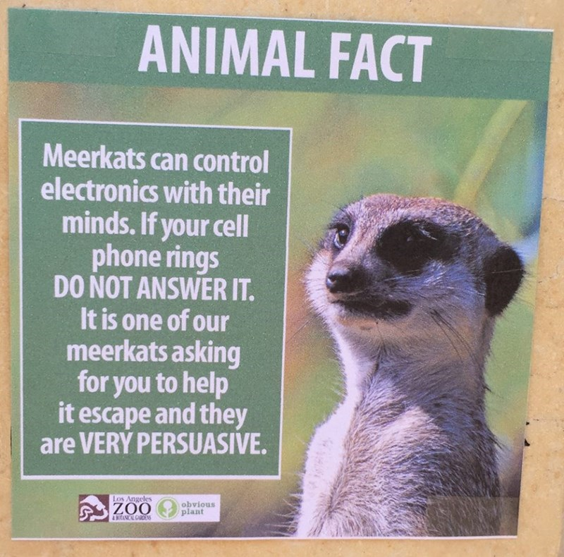 Meerkat - ANIMAL FACT Meerkats can control electronics with their minds. If your cell phone rings DO NOT ANSWER IT. It is one of our meerkats asking for you to help it escape and they are VERY PERSUASIVE Los Angeles ZOO obvious plant 4 ANCAL GARDE