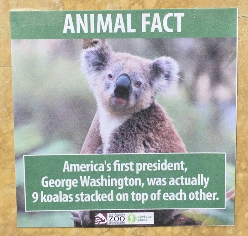 Koala - ANIMAL FACT America's first president, George Washington, was actually 9 koalas stacked on top of each other. Los Angeles obvious plant ZOO 4 BOTANICAL GARDENS