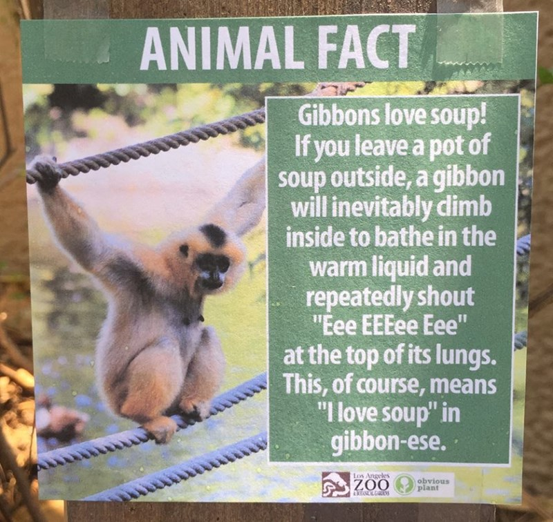 """Gibbon - ANIMAL FACT Gibbons love soup! If you leave a pot of soup outside, a gibbon will inevitably dimb inside to bathe in the warm liquid and repeatedly shout """"Eee EEEee Eee"""" at the top of its lungs. This, of course, means """"I love soup"""" in gibbon-ese. Los Angeles obvious plant ZOO ANCALGARDENS"""