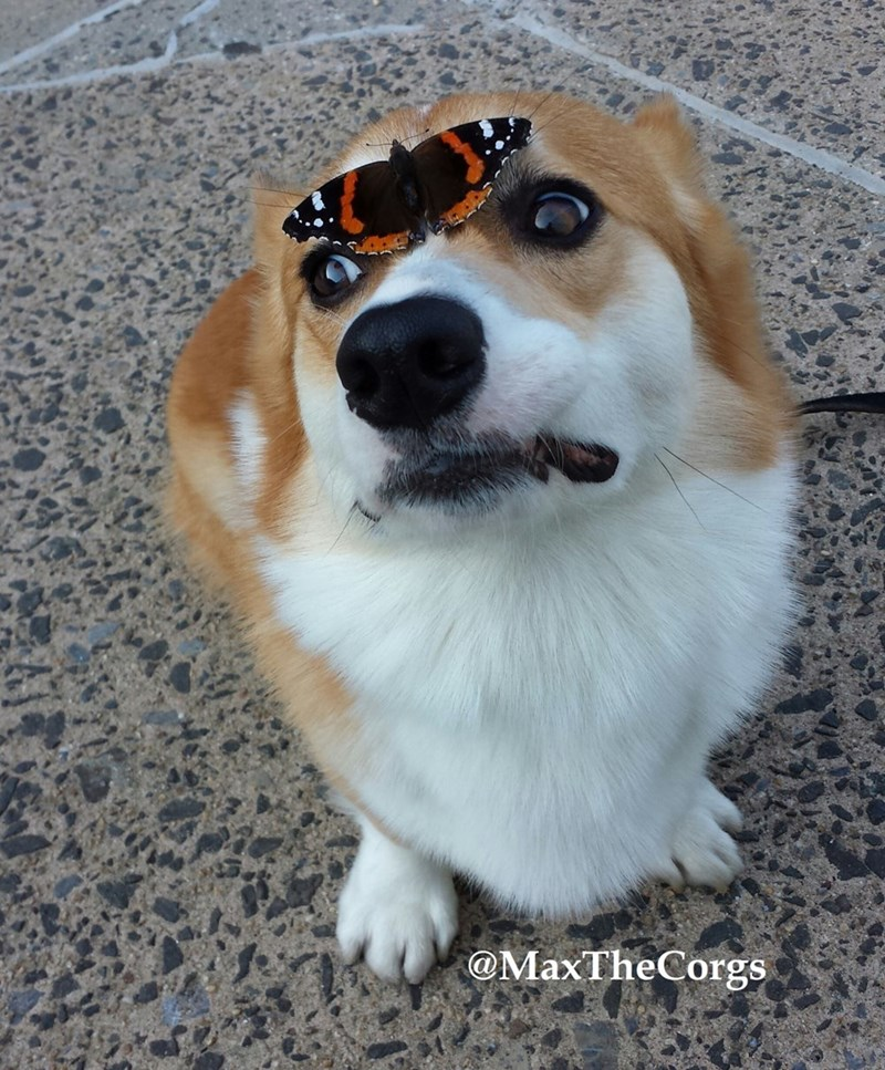 dogs,butterfly,corgi