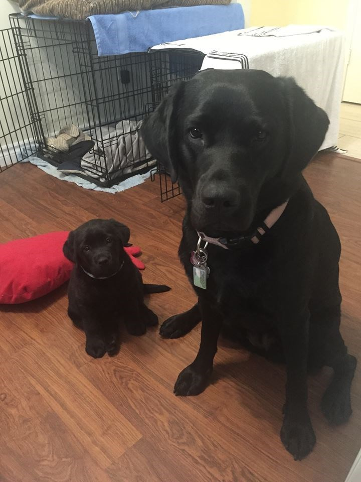 Future service dogs - Xena and Diva