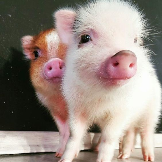 pigs piglets cute oink