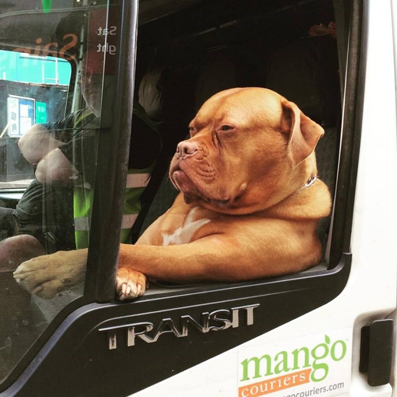 Dog driving a big rig truck like a human, and wearing sunglasses to look cool while doing so.