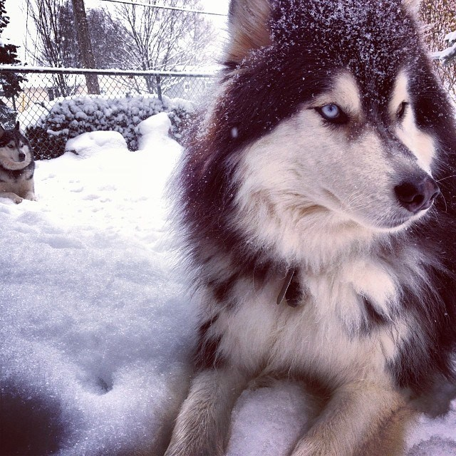 Siberian Husky\'s enjoying fresh snow