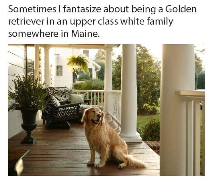 meme golden retriever - 8818599168