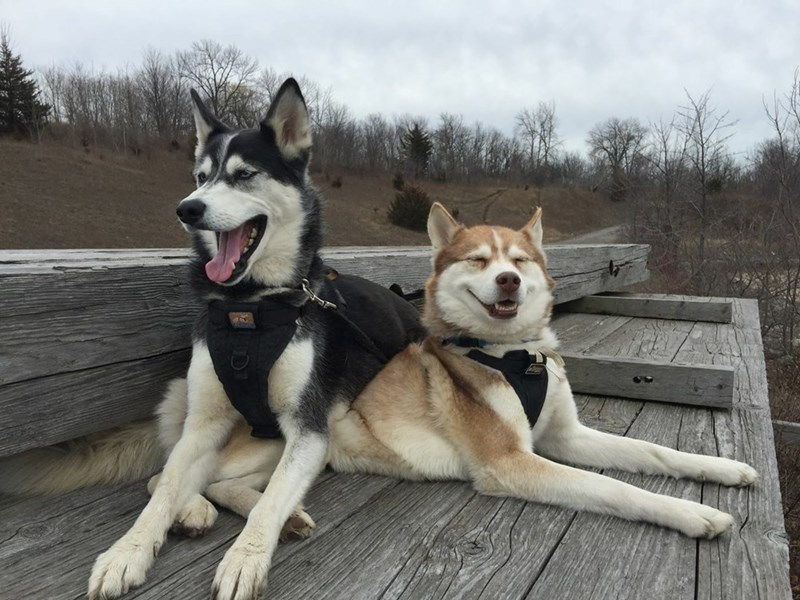 Picture of two happy dogs which appear to both be huskies and one is for sure smiling.