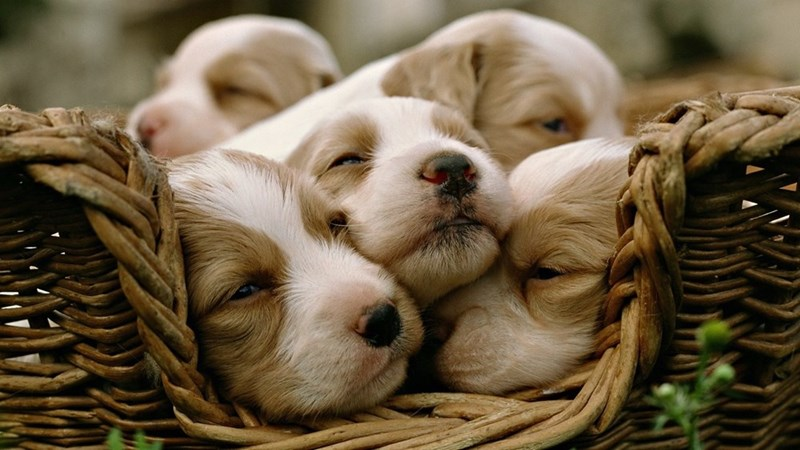 dogs,puppy,basket