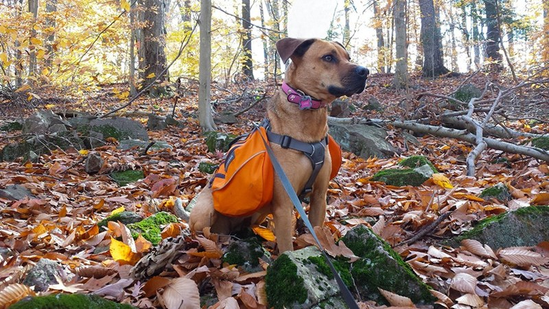 dogs Hiking - 8818793472