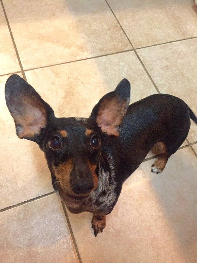 dogs,dachshund,ears