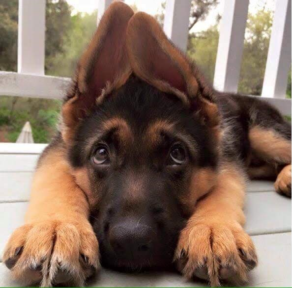 dogs puppy ears - 8818918400