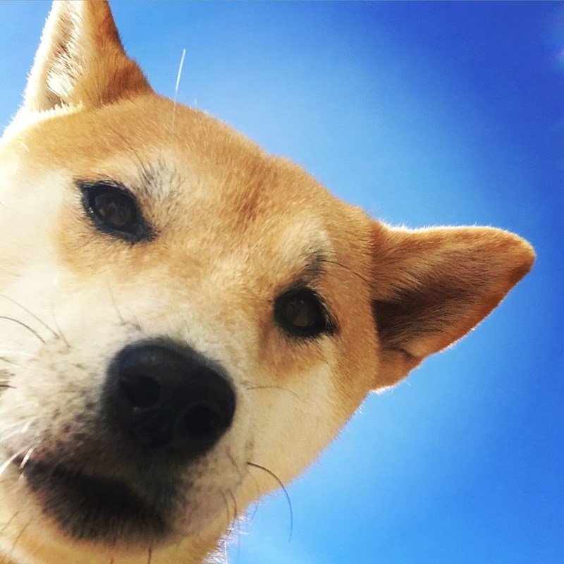 dogs doge - 8818932224
